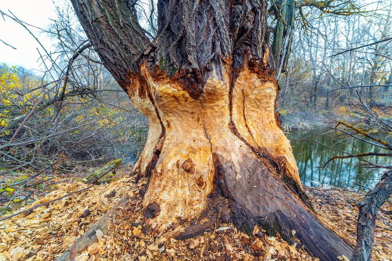 Beavers gnawed at a big tree. A large tree standing on the banks of the river gnawed by beavers stock images