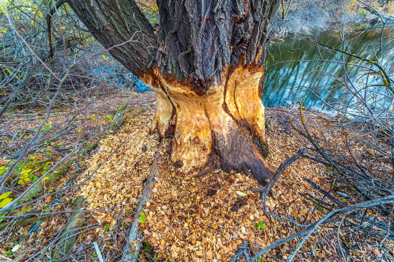 Beavers gnawed at a big tree. A large tree standing on the banks of the river gnawed by beavers royalty free stock image