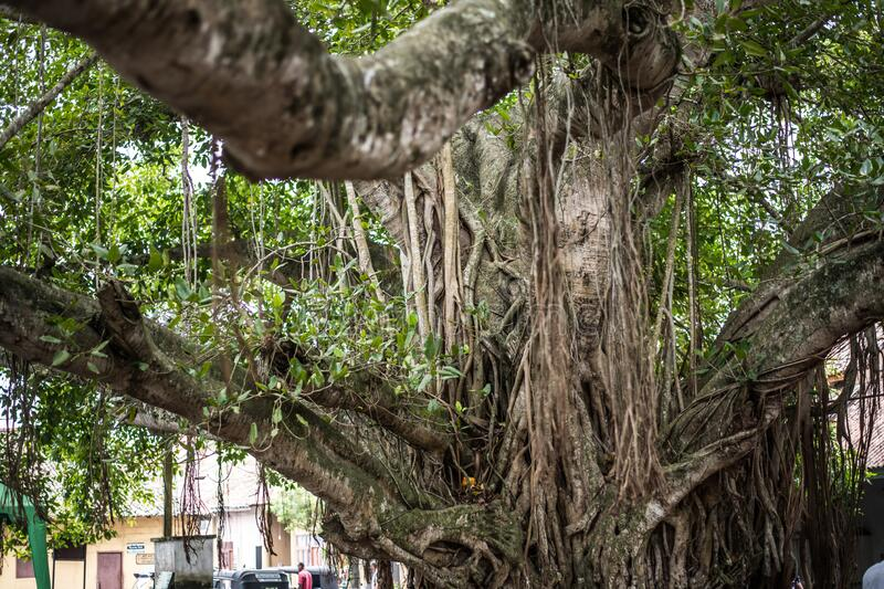 Large tree with thick trunk and drooping roots at Fort Galle Sri Lanka. Large tree with a thick trunk and drooping roots at Fort Galle Sri Lanka royalty free stock photography