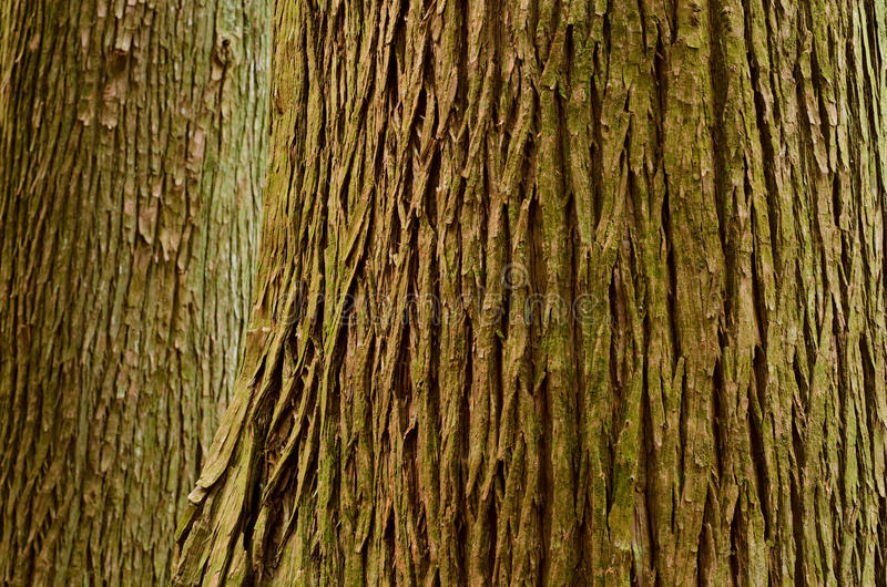 Download Large tree trunk stock photo. Image of surface, texture - 24724160