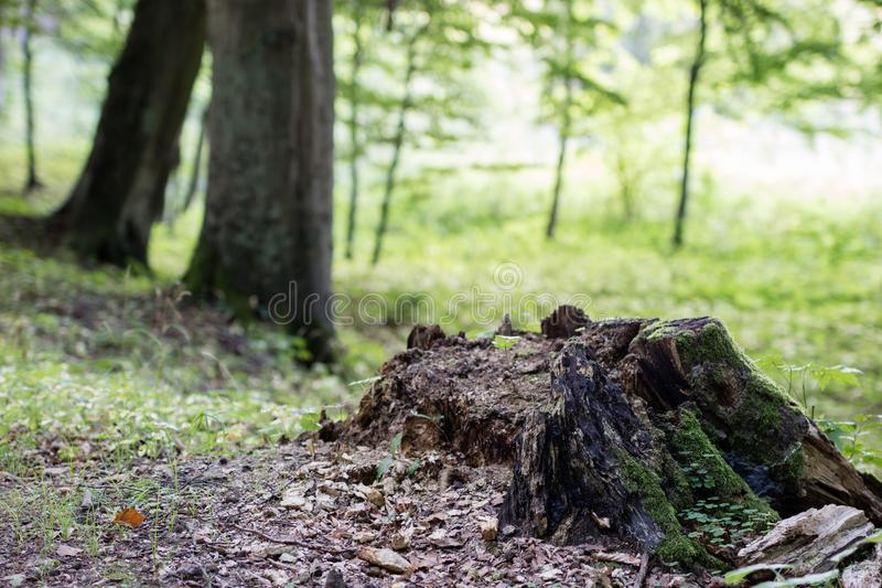 A large tree trunk in a city park. Path in the park between tree royalty free stock image