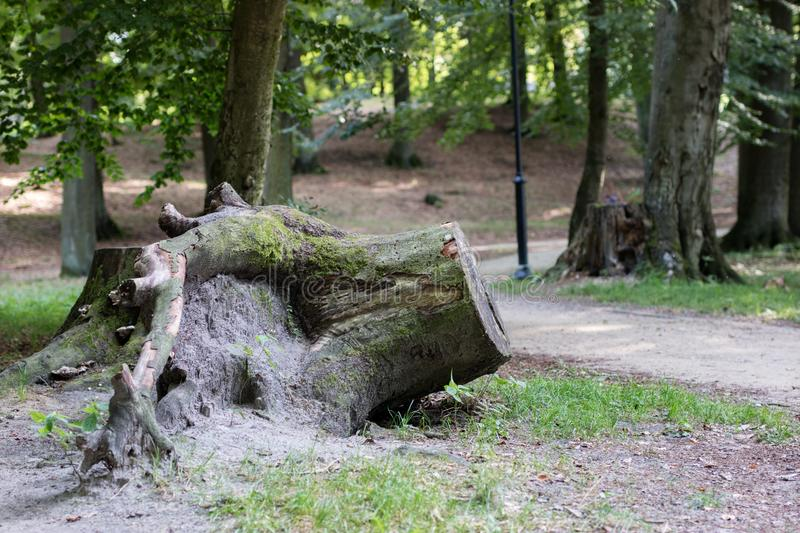 A large tree trunk in a city park. Path in the park between tree stock photos