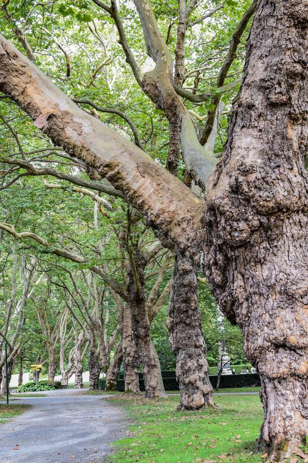 Large trees along paved pathway inside nature city park stock images
