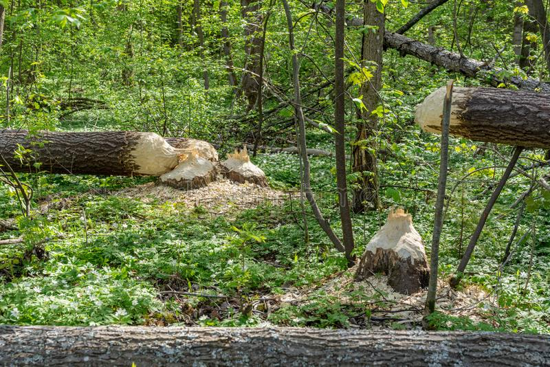Large trees cut down by beavers. Large trees in a green forest fallen to the ground, recently cut down by beavers stock photography