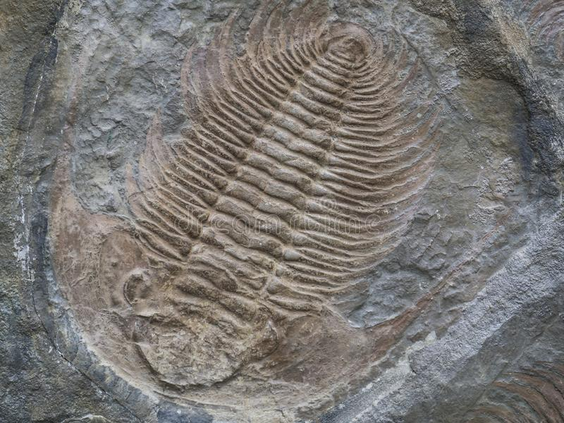 Large trilobite fossil Colpocoryphe grandis printed in stone stock images