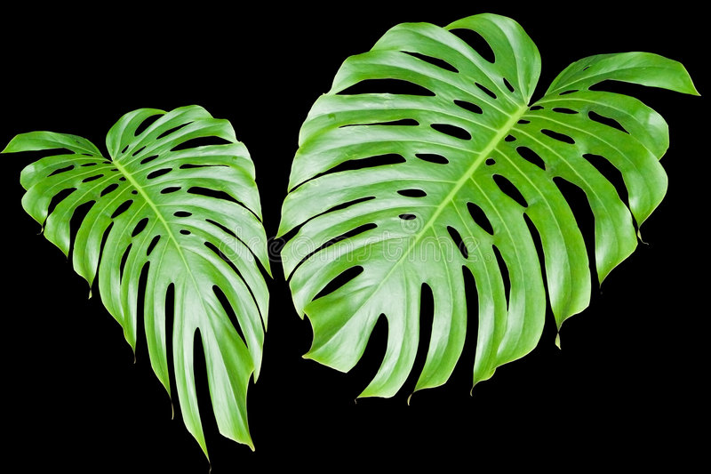 Large tropical leaves stock illustration