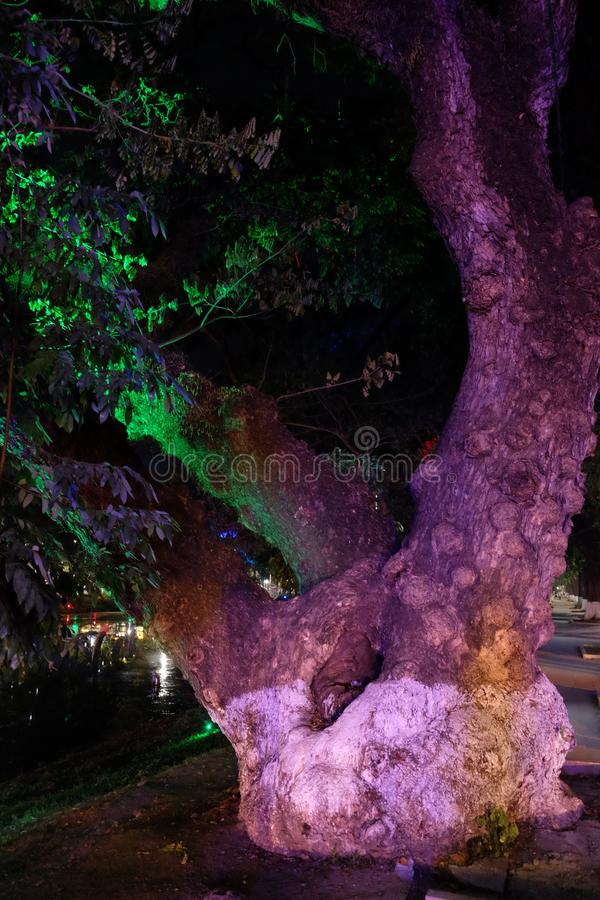 A large tropical tree with a knotted bark illuminated by multi-colored lights. Night time.  stock photography