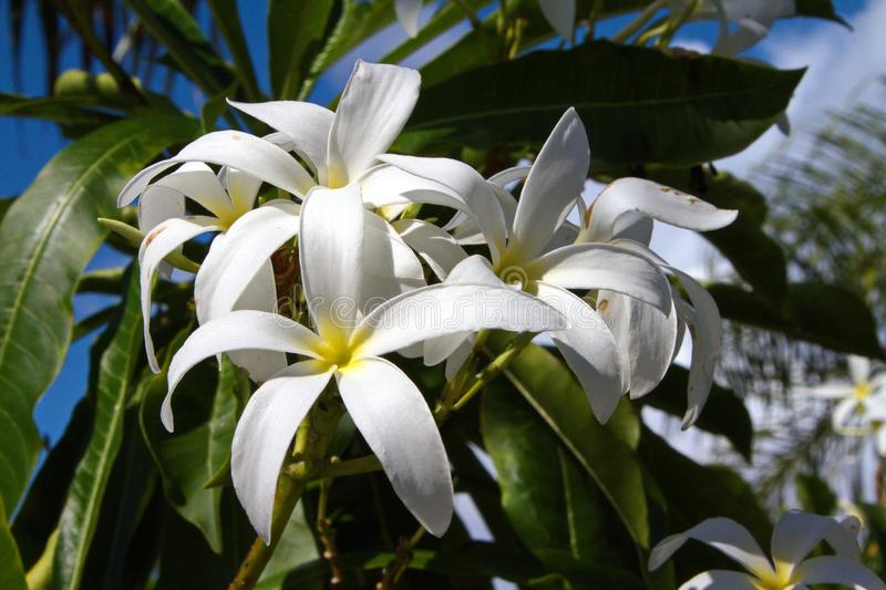 Large Tropical White Lilies royalty free stock images