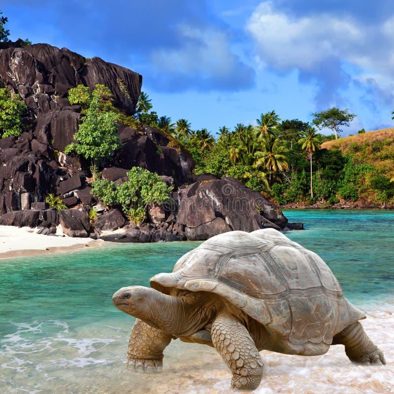 Free Large Turtle (Megalochelys Gigantea) Royalty Free Stock Image - 24858426