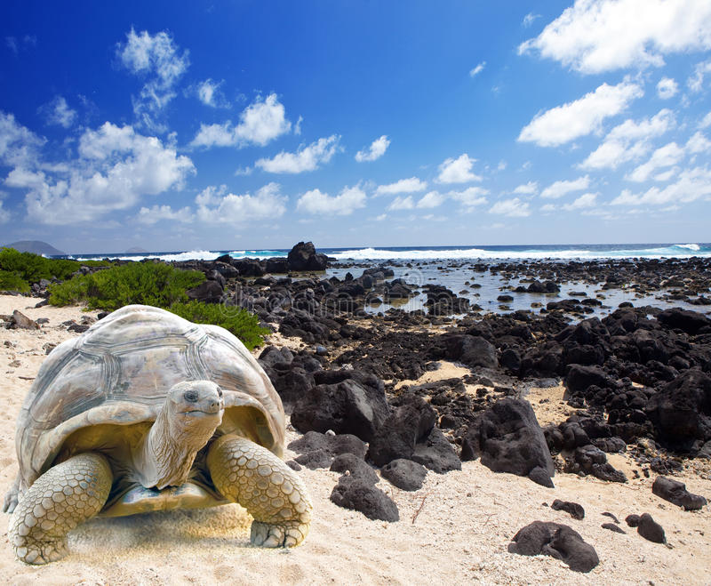 Large turtle (Megalochelys gigantea) at the sea edge on background of tropical landscape. Large turtle (Megalochelys gigantea) at the sea edge on background of royalty free stock images