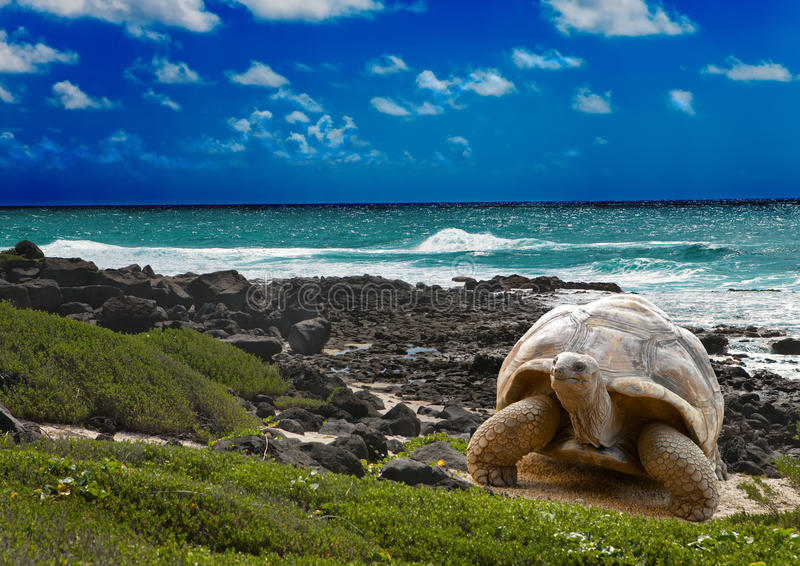 Large turtle at the sea edge.tropical landscape. Large turtle at the sea edge on background of a tropical landscape stock images