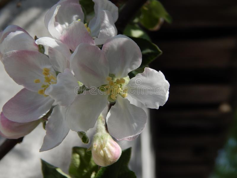 A large type of apple flower. stock photo
