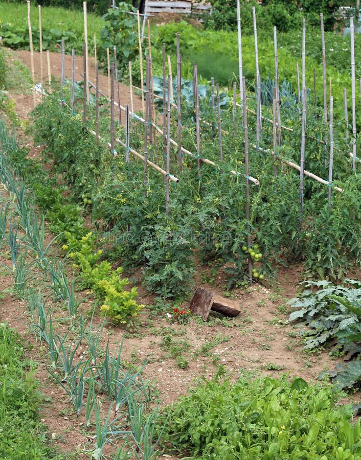 Vegetable garden for growing vegetables with tomato and onion pl royalty free stock photo