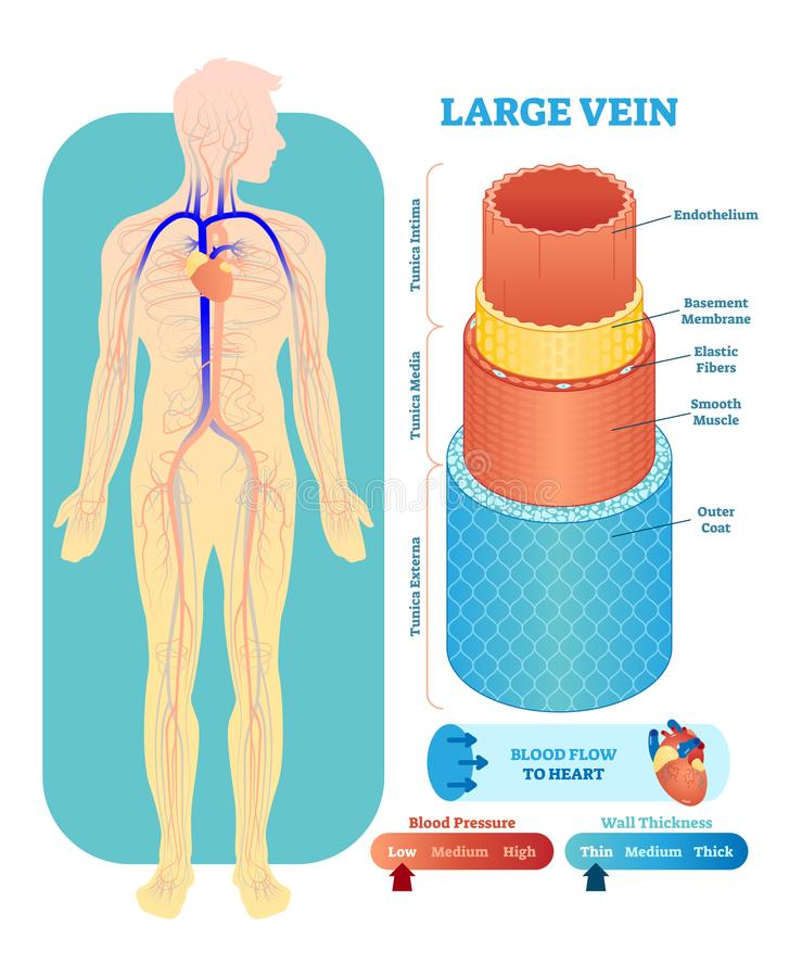 Large vein anatomical vector illustration cross section. Circulatory system blood vessel diagram scheme on human body silhouette. royalty free illustration