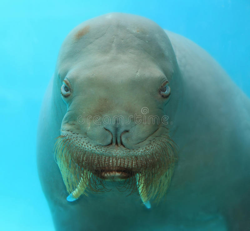 Free Large Walrus Face Underwater Stock Images - 41456364