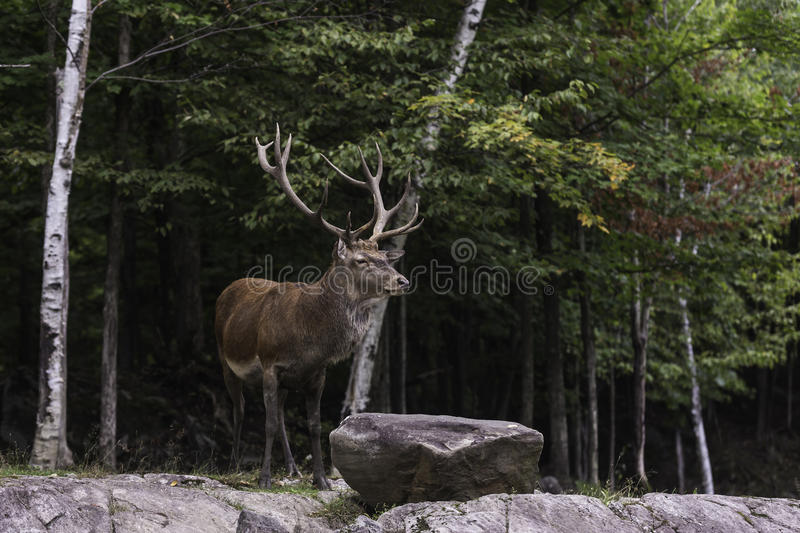 A large wapiti in the forest royalty free stock photos