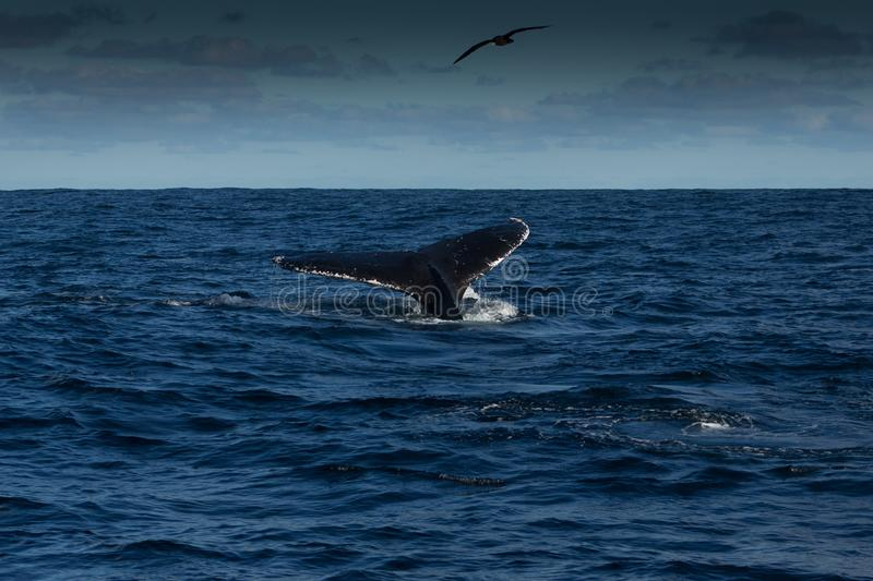 Fluking Humpback Whale. A humpback whale dives on a clear, calm day off South Africa royalty free stock photography