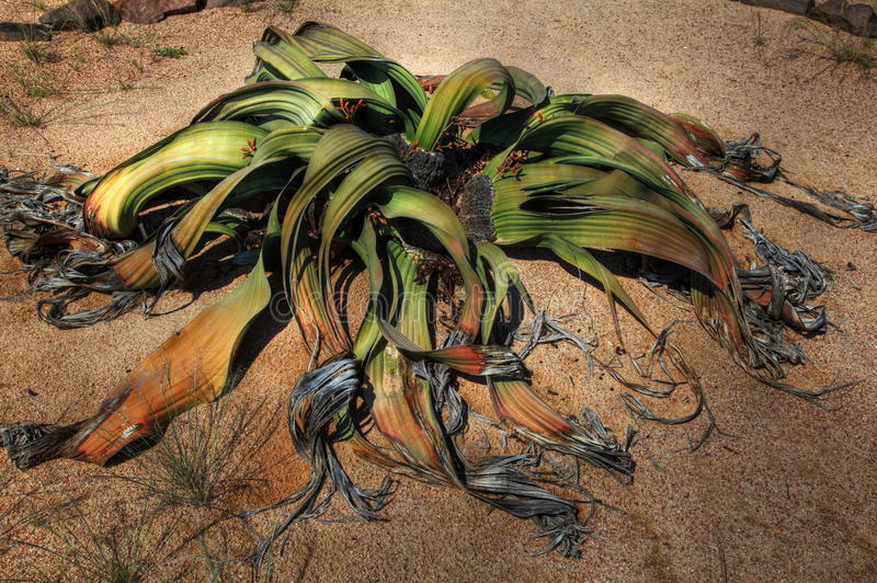 Large Welwitschia plant in Namibian desert royalty free stock photos