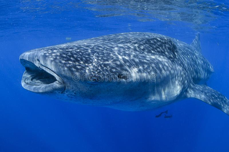 Large Whale Shark Feeding with Mouth Open stock photography