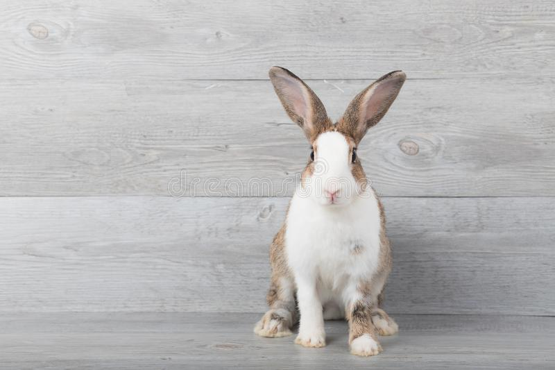 Large white and brown rabbits are sitting. royalty free stock images