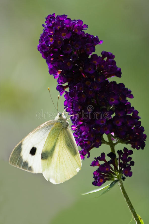 Large white on Butterfly bush. Large white with backlight on Butterfly bush flowers in summer stock image