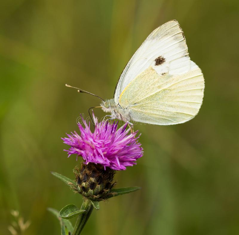 Large White Butterfly Perched on a Thistle stock photos