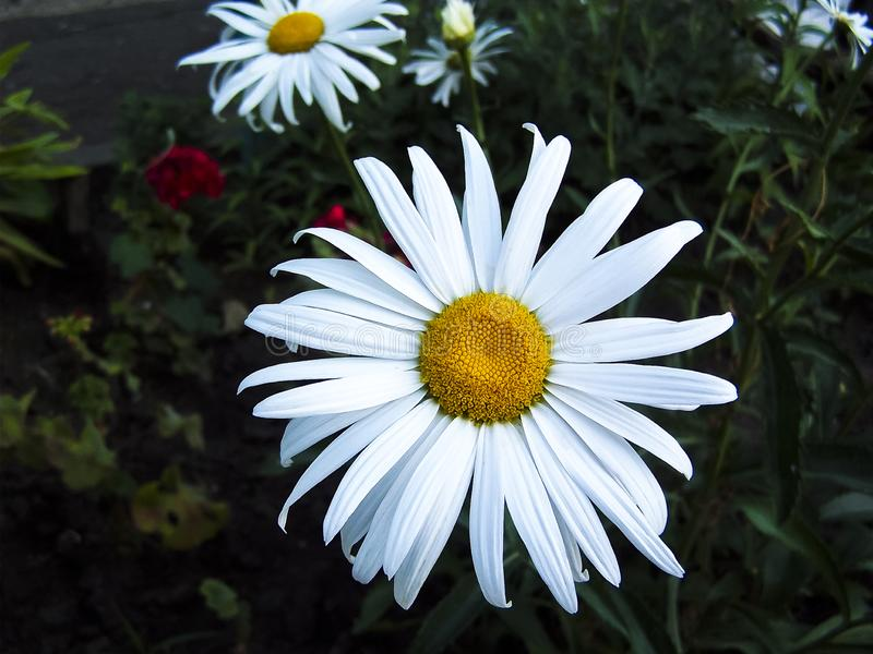 A large white chamomile. Perennial flowering plant. stock image
