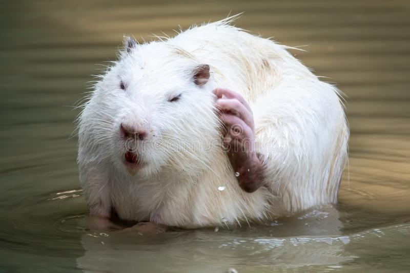 Large white coypu or nutria sits in a shallow pond stock photos