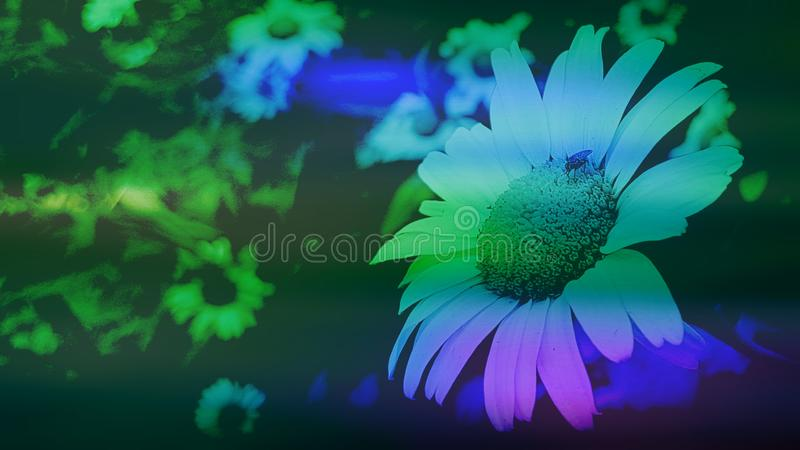 Large white daisy with purple green and blue colour splashes royalty free stock photos