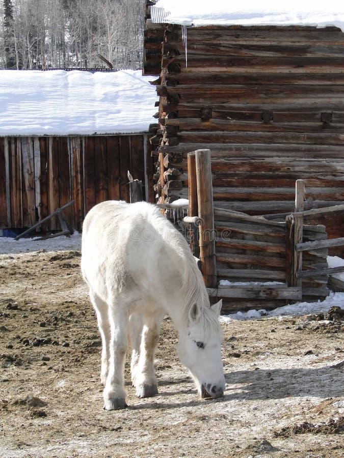 Download Large white draft horse stock image. Image of large, animal - 14596181