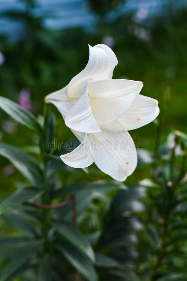 Large white flower opened its petals. Flowering plants fill my garden every summer stock photos