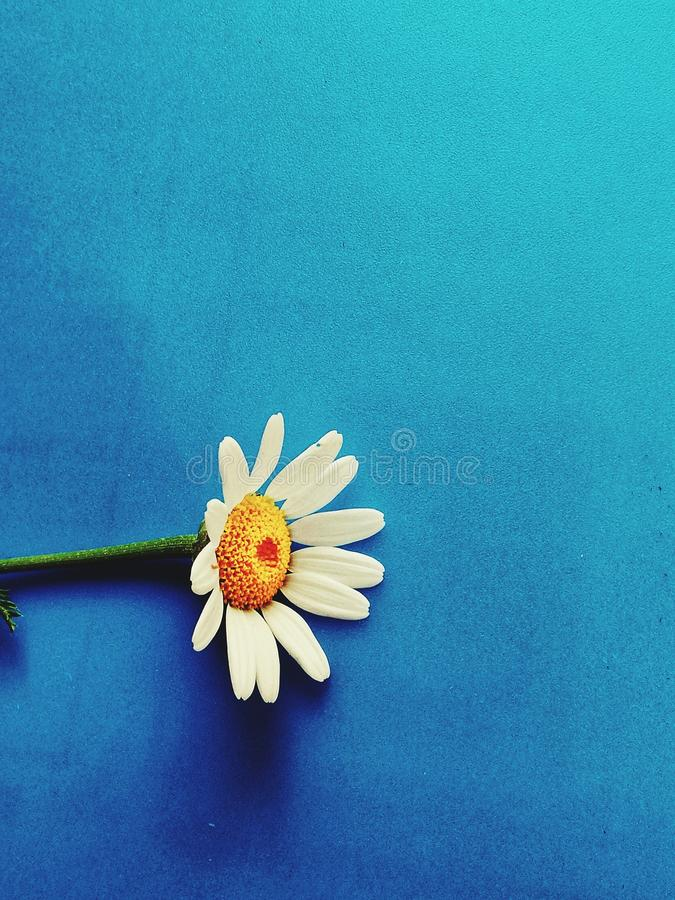 Large white flowers with green stalk and chamomile leaf isolated on a blue background, Studio photography,beautiful wild daisy whi. White flower with a green stock photo