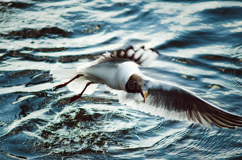 A large white gull catches pieces of bread in the river. Close-up stock image