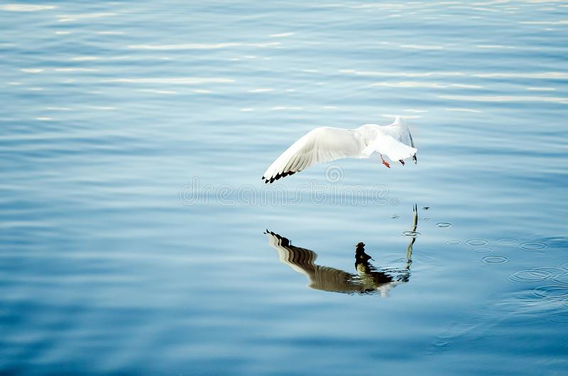 A large white gull hunts on water. Close-up royalty free stock image