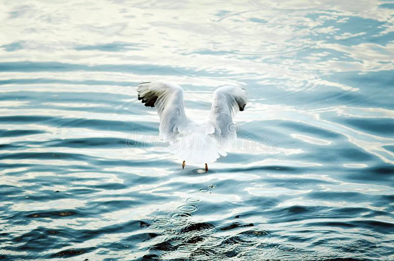 A large white gull hunts on water. Close-up stock photography