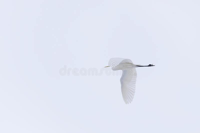 Large white herons in winter weather conditions royalty free stock image