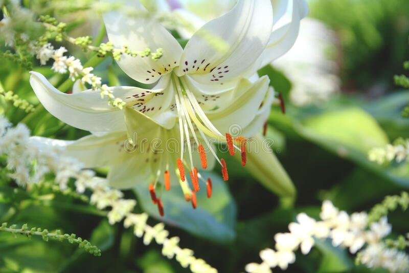 Large white Lily flower on a beautiful blurred background. green summer garden.  royalty free stock photos