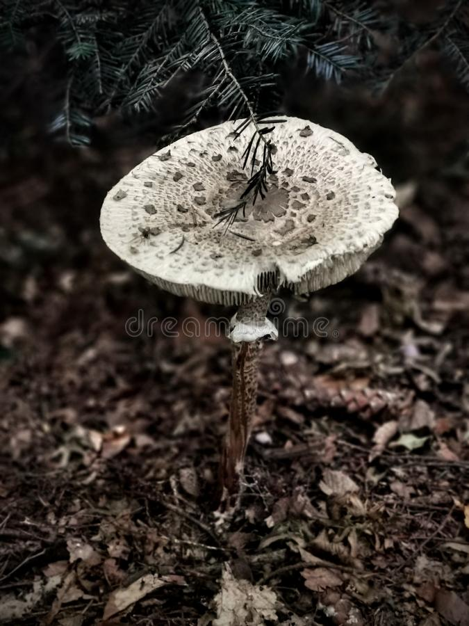 Large white mushroom growing in the forest stock image