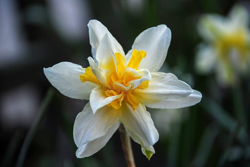 Large white orange daffodil flower stock images