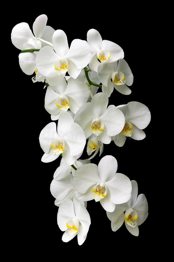 Large white orchid branch isolated on black background royalty free stock images
