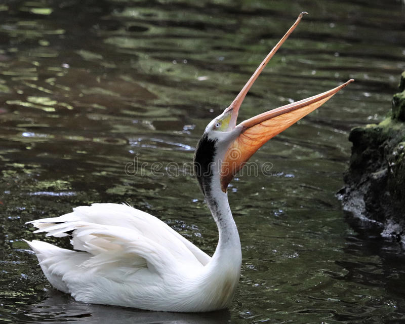White Pelican with beak open. Large White Pelican with beak open in river at Homosassa Springs State Wildlife park hoping to catch a fish from the rangers royalty free stock images