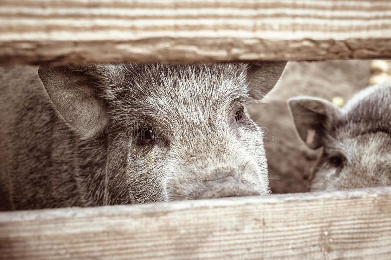 A large white pig stock photo