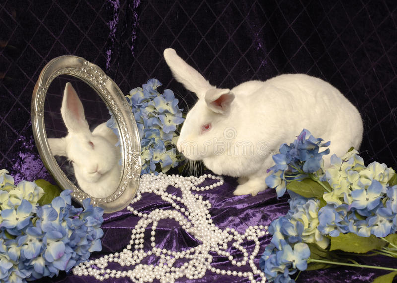 A Large White Rabbit with a Mirror stock photos