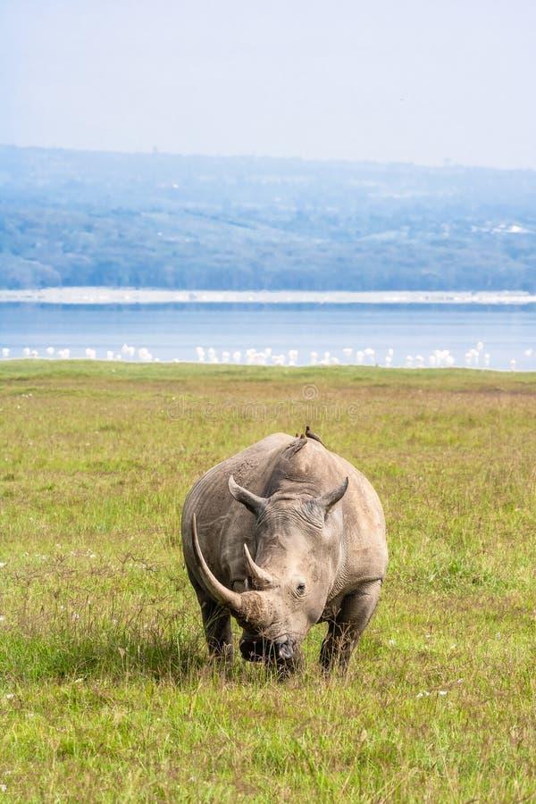 Large white rhino. Nakuru. Large white rhino. Nakuru, Kenya royalty free stock photos