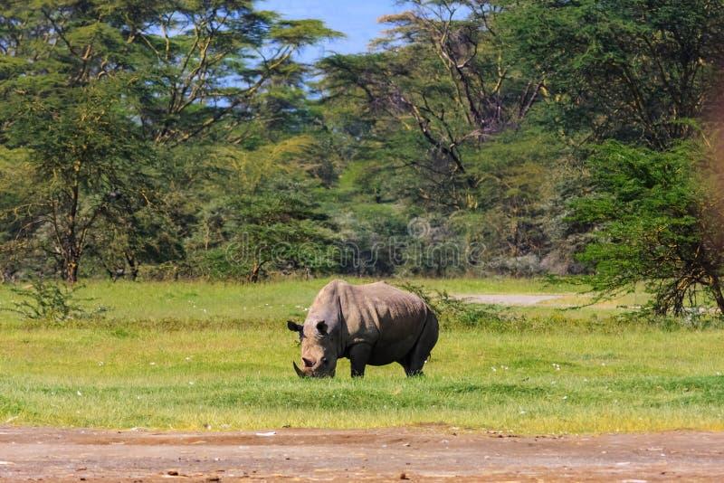 Large white rhino in Nakuru lake park royalty free stock images