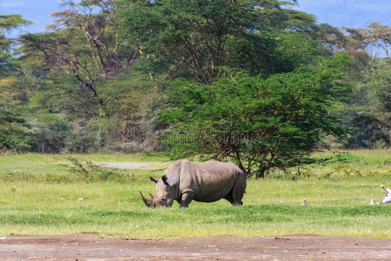 Large white rhino. Nakuru lake park, Kenya stock image
