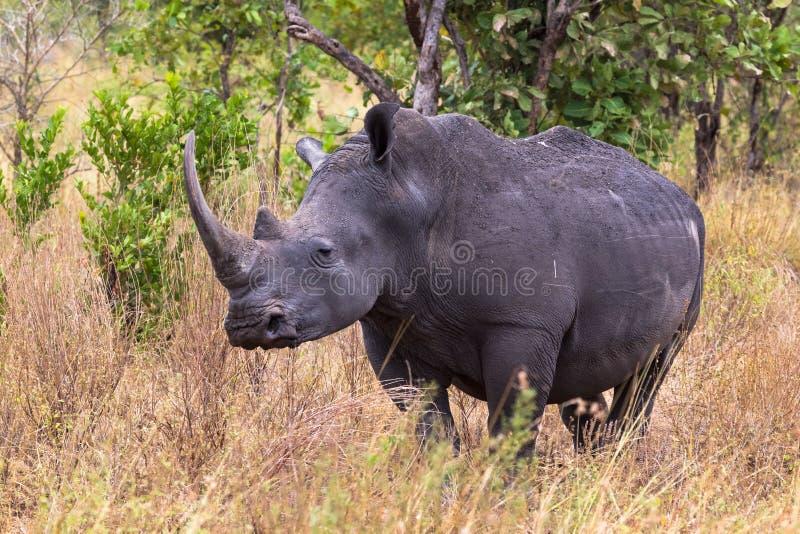 Large white rhino near. Meru, Kenya royalty free stock photography