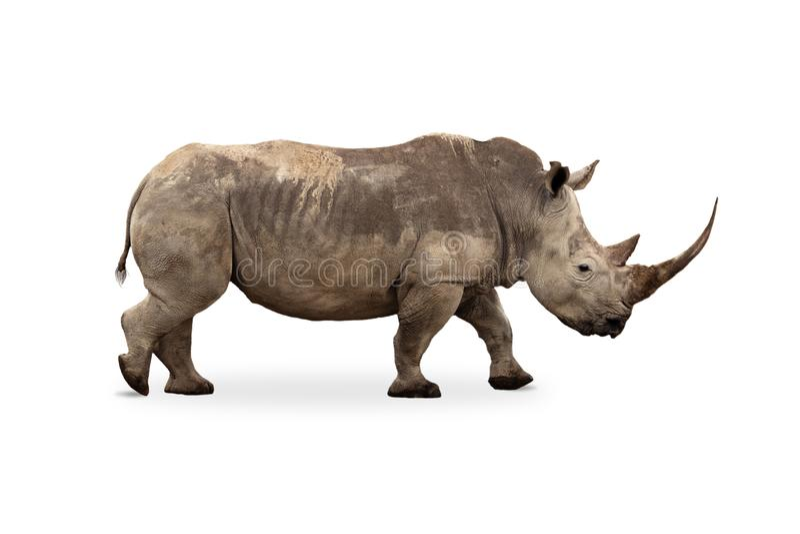 Large White Rhino Profile Big Horn Extracted stock photo