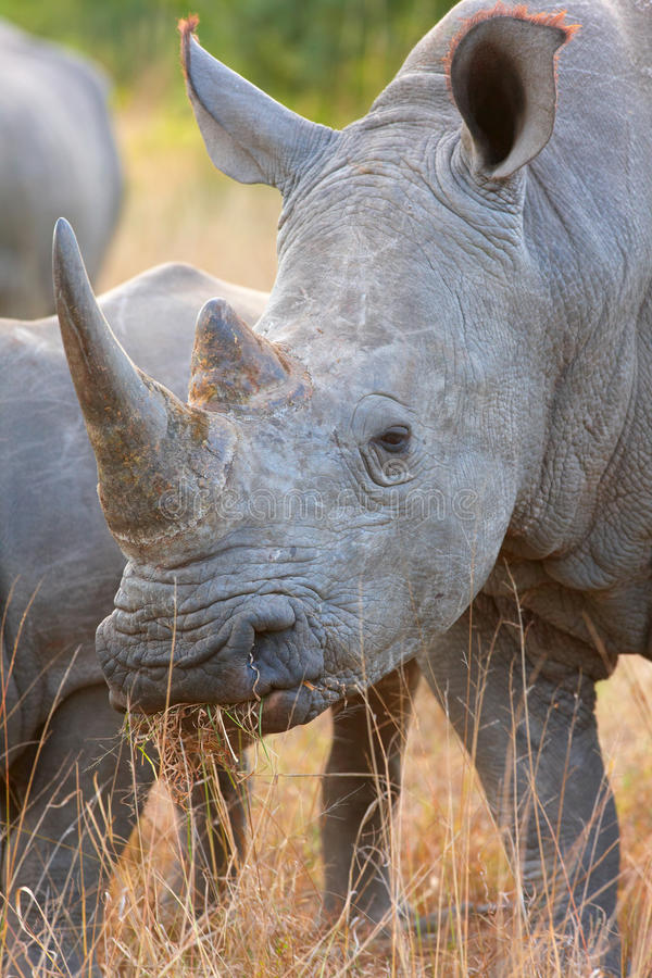 Large white rhinoceros. Group of large white (square-lipped) rhinoceros (Ceratotherium simum) in the nature reserve in South Africa royalty free stock photo