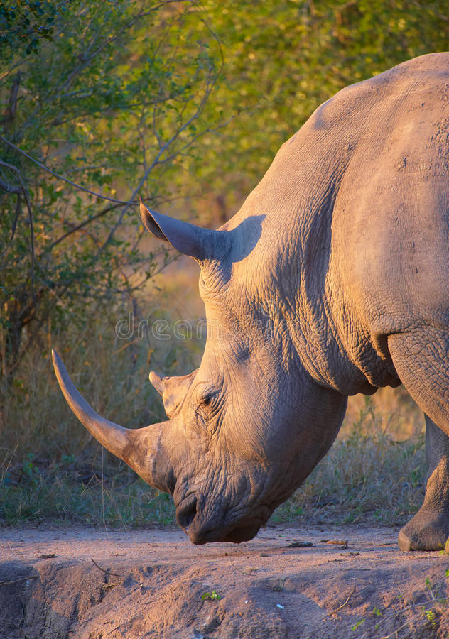 Large white rhinoceros. Large white (square-lipped) rhinoceros (Ceratotherium simum) bull grazing in the nature reserve in South Africa royalty free stock photo